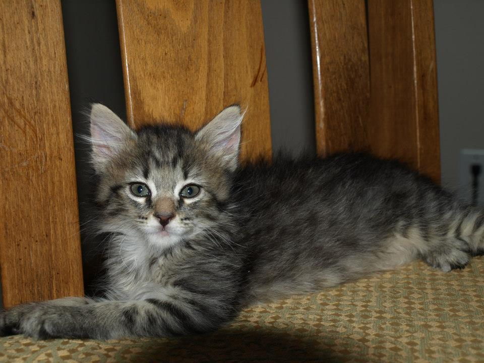 azithromycin for cats