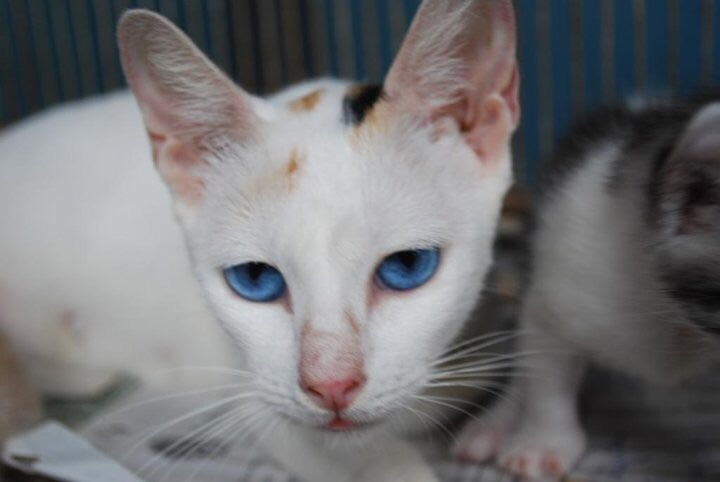 Gallery For > Orange Ojos Azules Cat