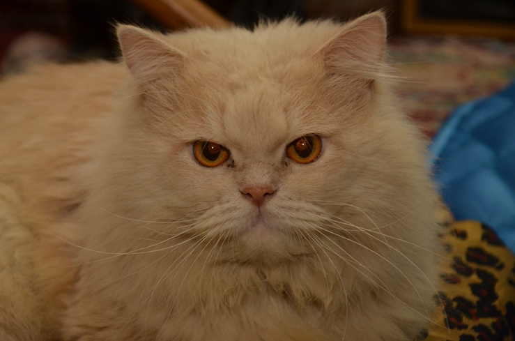 Orange Persian Cat