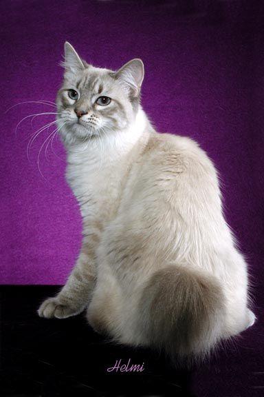 American Bobtail cat Leia