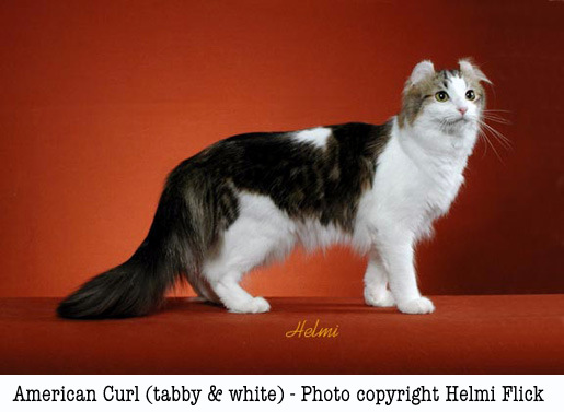 Tabby American Curl. Photo copyright Helmi Flick