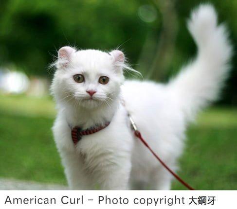 White American Curl