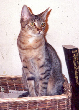 California Spangled cat Ocea
