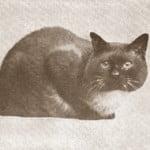 siamese-cat-1911-enc-brit
