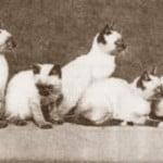 siamese-litter-1903