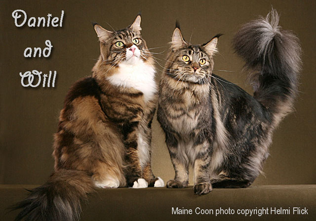 Maine Coons Daniel and Will