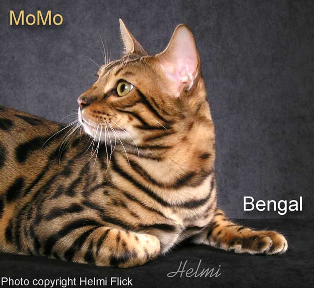 MoMo Bengal Cat