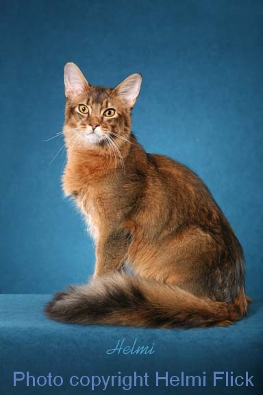 Somali cat CHASE