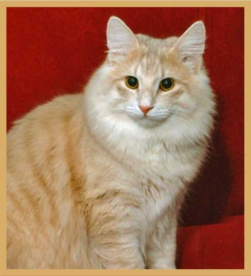 Amber Norwegian Forest Cat. See more.
