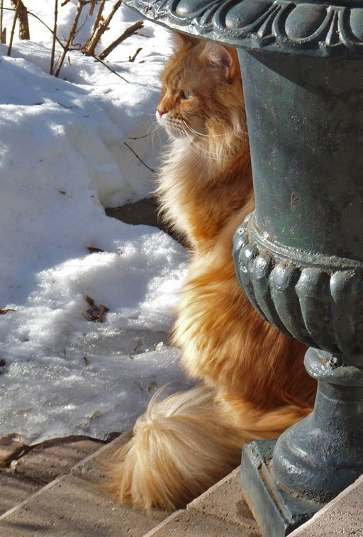 beautiful-red-tabby-and-white-maine-coon