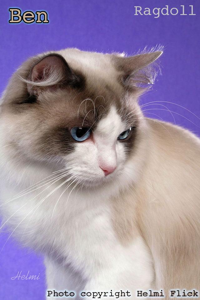 Ben Ragdoll cat