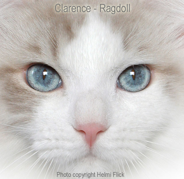 Clarence a Ragdoll cat