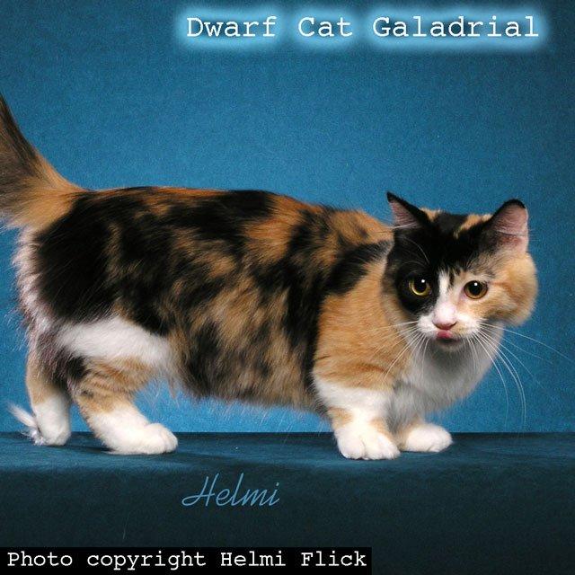 Dwarf Cat Galadrial