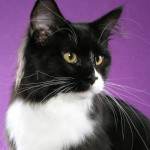 A beautiful black and white random bred cat photographed by Helmi Flick