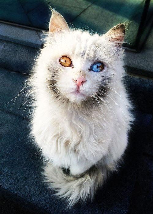 Feral cat with sad odd-eyes