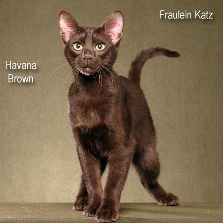Havana Brown cat breed