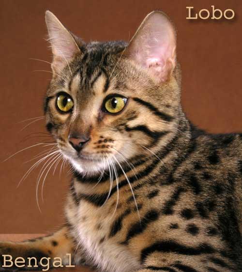 Lobo Bengal cat