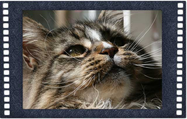 maine coon home page