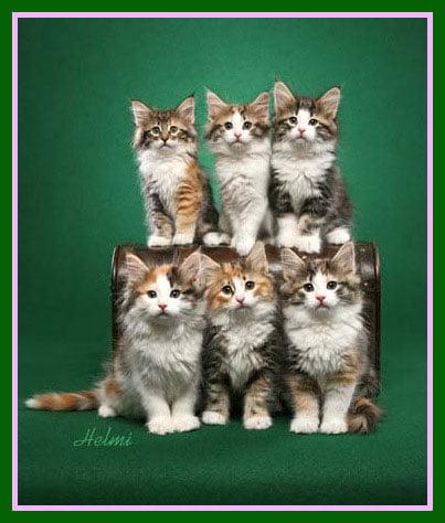 norwegian-forest-cat-family