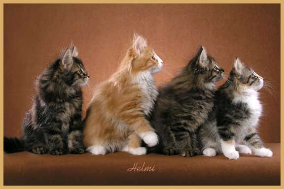 Norwegian Forest KIttens - Photo copyright Helmi Flick