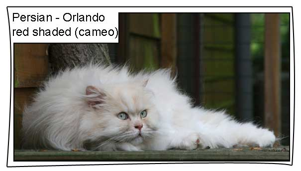 Orlando a red shaded traditional Persian cat