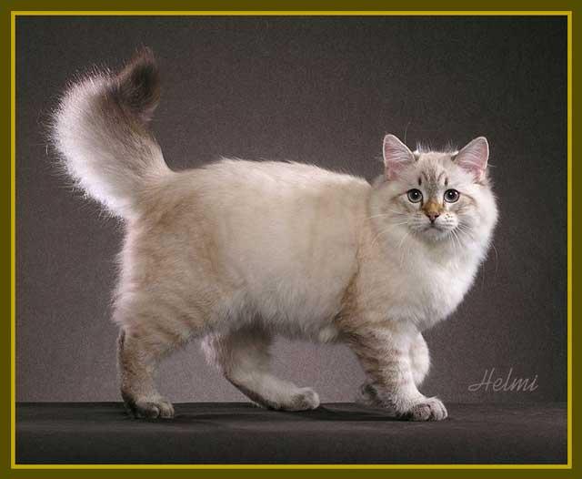 siberian-cat-photo-h