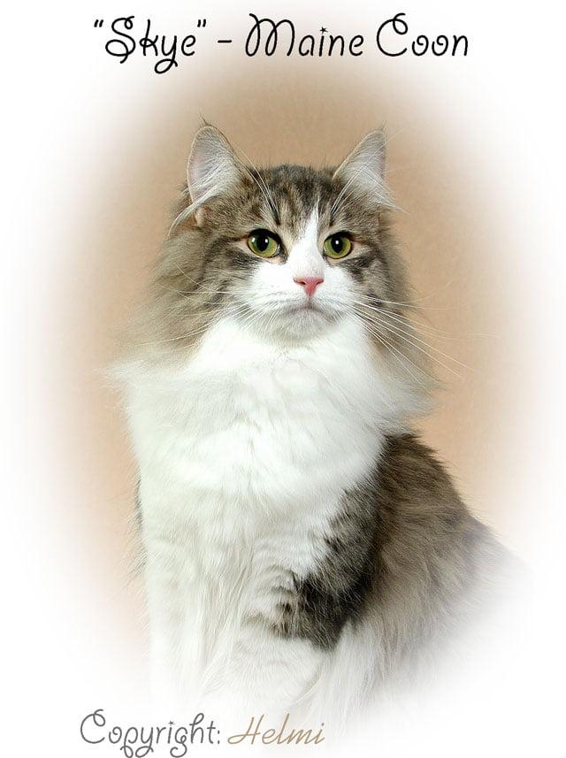 Skye Maine Coon Cat