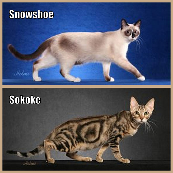 Snowshoe and Sokoke