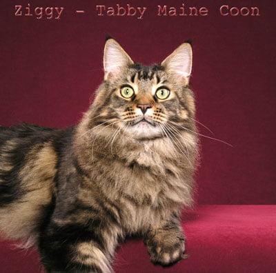 Tabby Maine Coon