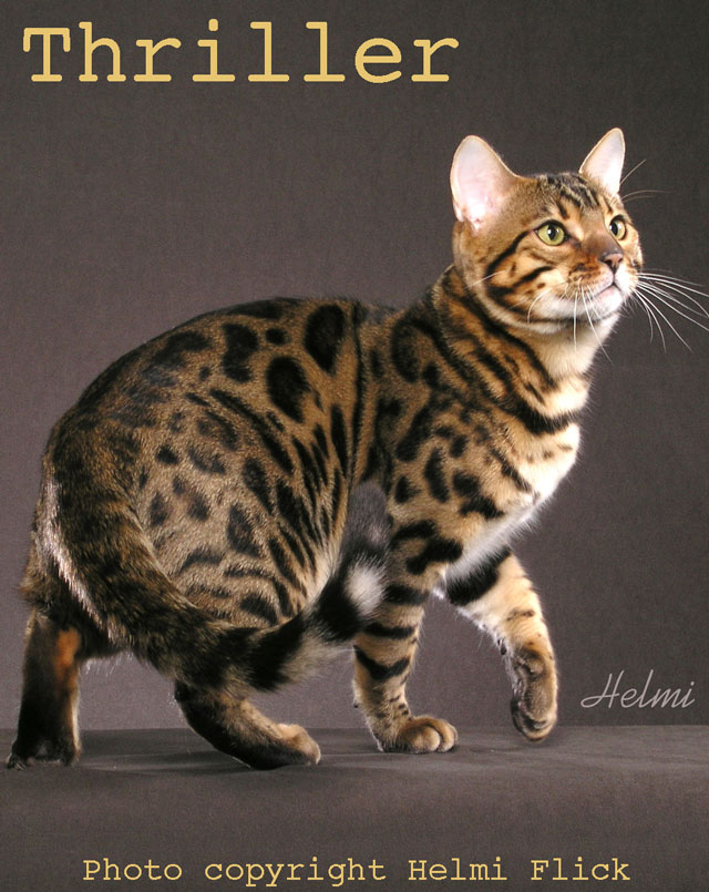Thriller Bengal Cat