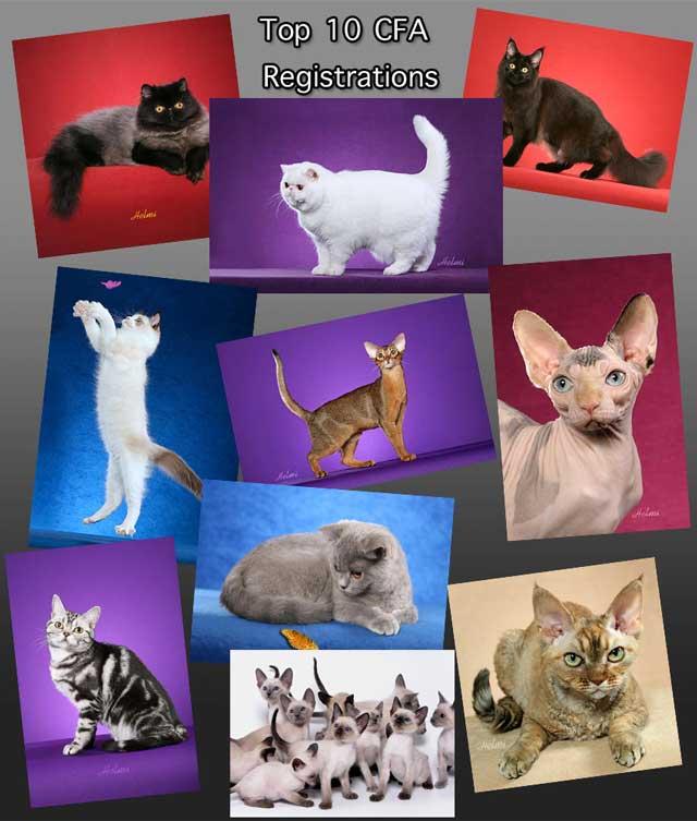 top 10 cfa breed registrations