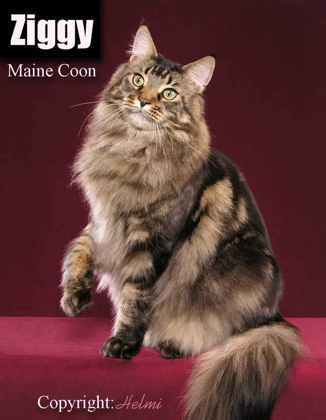 Ziggy Maine Coon