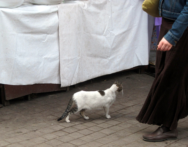 Moroccan cat. Neither stray, feral nor domestic - in between.