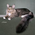 Mama a tabby and white Maine Coon cat