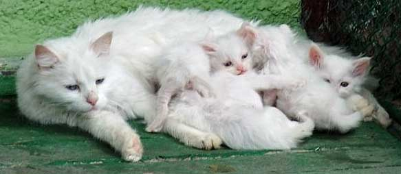 Turkish Angora Cat, Ankara Zoo, Turkey - Photo: copyright Angora Cat Association.