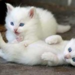 Turkish Angora Kittens, Ankara Zoon, Turkey