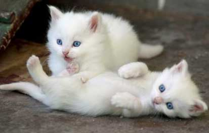 Turkish Angora Kittens, Ankara Zoon, Turkey
