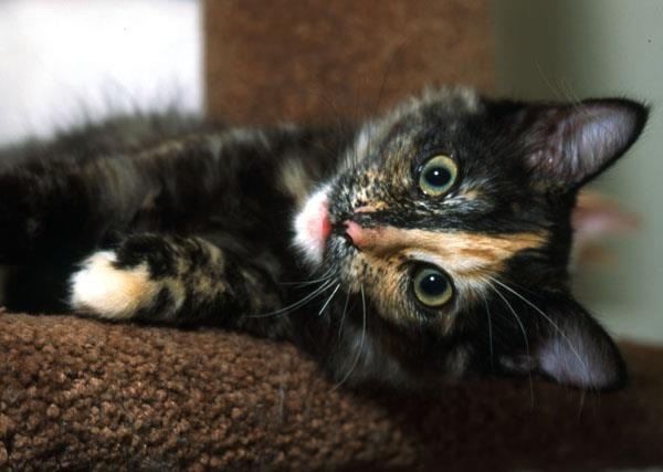Black Tortoiseshell Kitten with Blaze