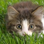 kitten looking intently at camera while lying low in the grass