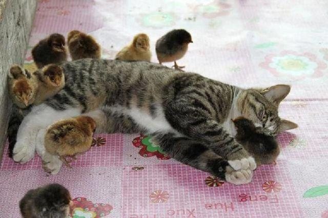 Chicks and Cats