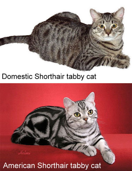 Domestic Shorthair compared to American Shorthair
