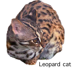 leopard cat (Asian leopard cat)