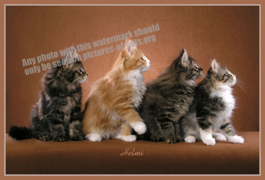 Four Norwegian Forest Kittens in Profile
