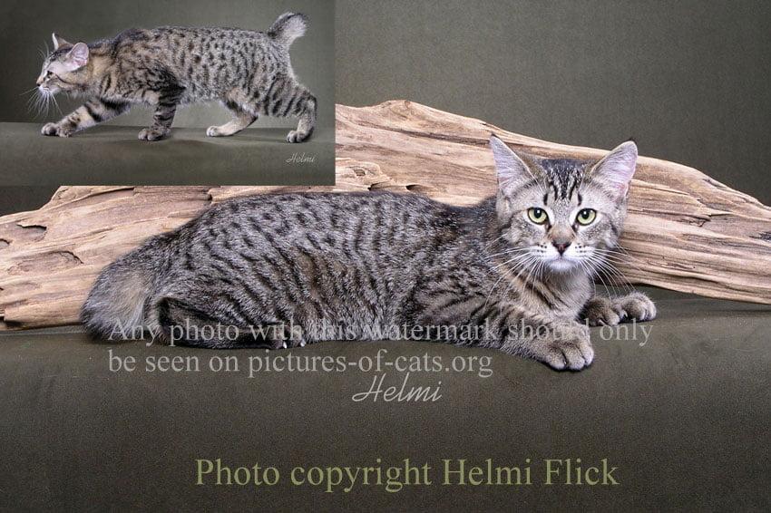 Polydactyl mackerel tabby cat a Pixie-bob