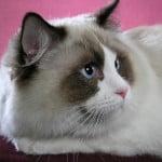 Ragdoll cat Cowboy
