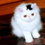 White Persian cat with a black fur marking in shape of top hat.