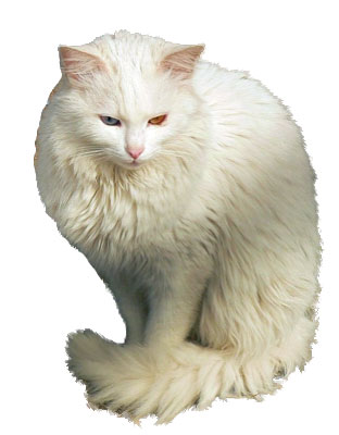 Turkish Angora in Ankara Zoo
