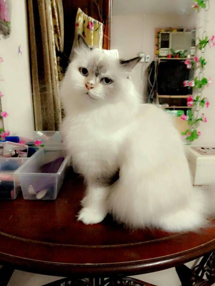 Shirazi cat vs persian cat