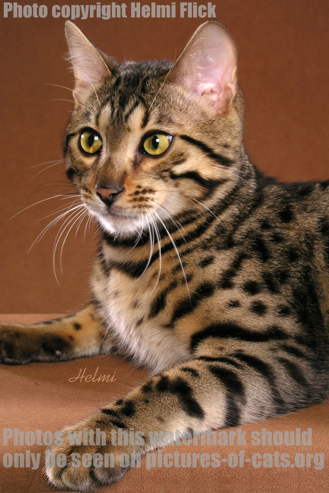 Bengal Cat Lobo Close Up