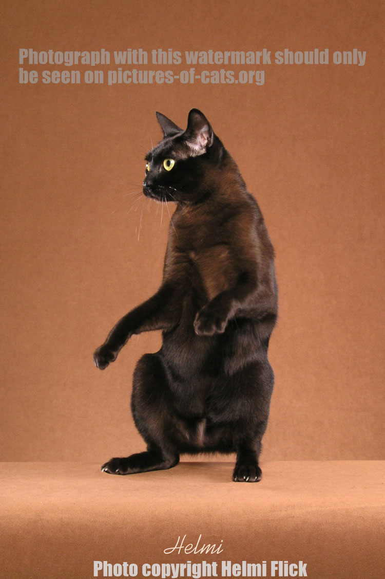 Burmese Cat Raisin Standing On His Back Feet